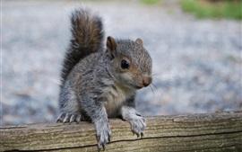 Esquilo, madeira