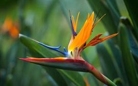 Flores Strelitzia