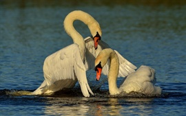 Swans, couple, lake, water