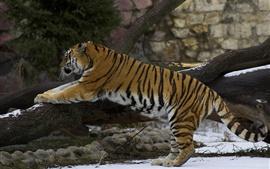 Preview wallpaper Tiger climb, snow, winter