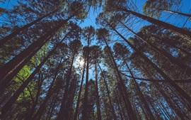 Árvores, floresta, céu, sol, vista de baixo