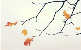 Twigs, maple leaves, autumn, white background