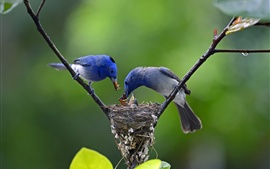 Preview wallpaper Two blue birds, feeding, tree