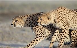 Two cheetahs walking, couple