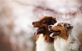 壁紙のプレビュー 2匹の犬、友人、ボケ