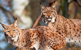 Preview wallpaper Two wild cats, lynx