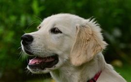 Cão branco, rosto, boca, olhos