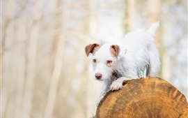 Preview wallpaper White dog, stump