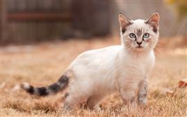 Caminhada de gatinho branco, olhar