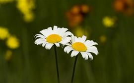 Pétalas brancas flores de camomila, primavera