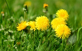 Preview wallpaper Yellow flowers, dandelions, grass