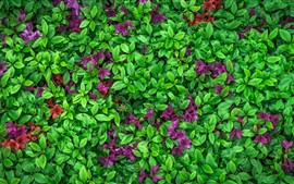 Preview wallpaper Azalea, green leaves, purple flowers