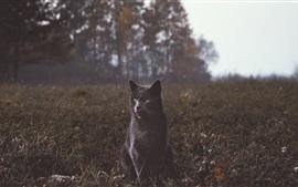 Chat noir, yeux jaunes, herbe, crépuscule