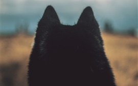 Preview wallpaper Black dog ears, back view