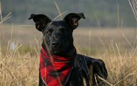 Черная собака, шарф, трава