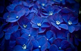 Preview wallpaper Blue hydrangea flowers close-up
