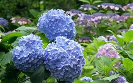 Flores de hortênsia azul, parque