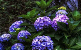 Blue purple hydrangea flowers
