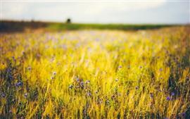 Flores silvestres azules, hierba, campos