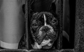 Bulldog olha para fora da janela, imagem em preto e branco