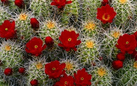 Preview wallpaper Cactus red flowers