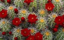 미리보기 배경 화면 선인장 붉은 꽃