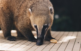 Coati, nasua, animal photography