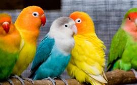 Papagaios coloridos, lindos pássaros