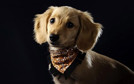 Preview wallpaper Cute dog, brown, scarf, black background
