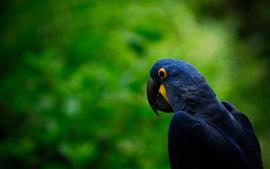 Papagaio azul escuro, fundo verde