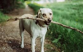 Cão pegando uma vara