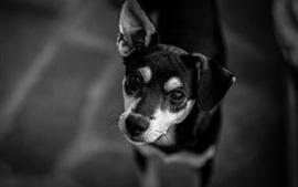 Vorschau des Hintergrundbilder Hund schaue dich an, Schwarzweißbild