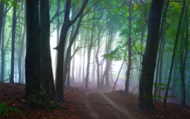 Forest, trees, path, fog, nature scenery