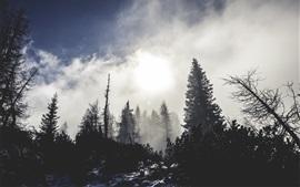Forest, trees, snow, fog, morning