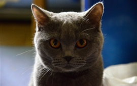 Preview wallpaper Gray cat front view, look, eyes, backlight