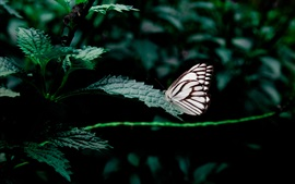 Green leaves, white black wings butterfly
