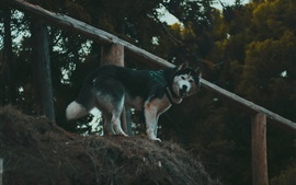 Preview wallpaper Husky dog look back, fence