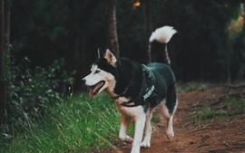 Cão ronco andando, grama