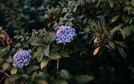 Preview wallpaper Hydrangea, purple flowers, bushes, leaves