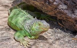 Игуана, ящерица, посмотри, зеленая