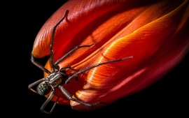 Inseto, aranha, flor vermelha, fundo preto
