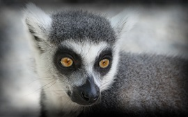 Preview wallpaper Lemur look