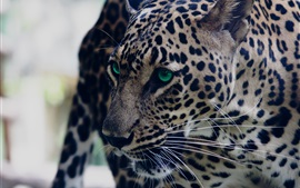 Preview wallpaper Leopard, look, green eyed