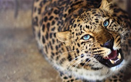 Leopard look up, blue eyes