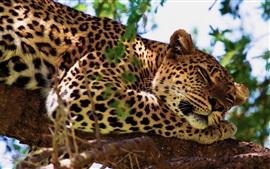 預覽桌布 豹子睡在樹上