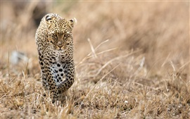 Preview wallpaper Leopard walking in the grass, wildlife