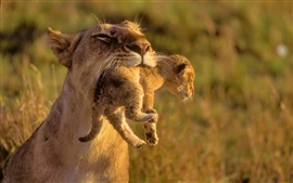 Lion motherhood catch cub