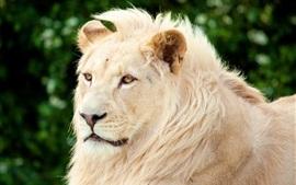 Leão, predador, rosto, olhos