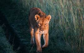 Preview wallpaper Lioness walk, grass, wildlife