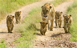 Preview wallpaper Lions, family, cubs, walk